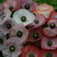 Papaver rhoeas Mother of Pearl Poppy -  Approx 120 seeds